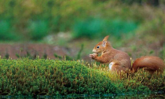 Vještačka inteligencija može spasiti ugrožene riđe vjeverice